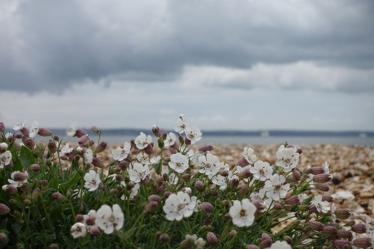 Sea Campion: May 2016 1