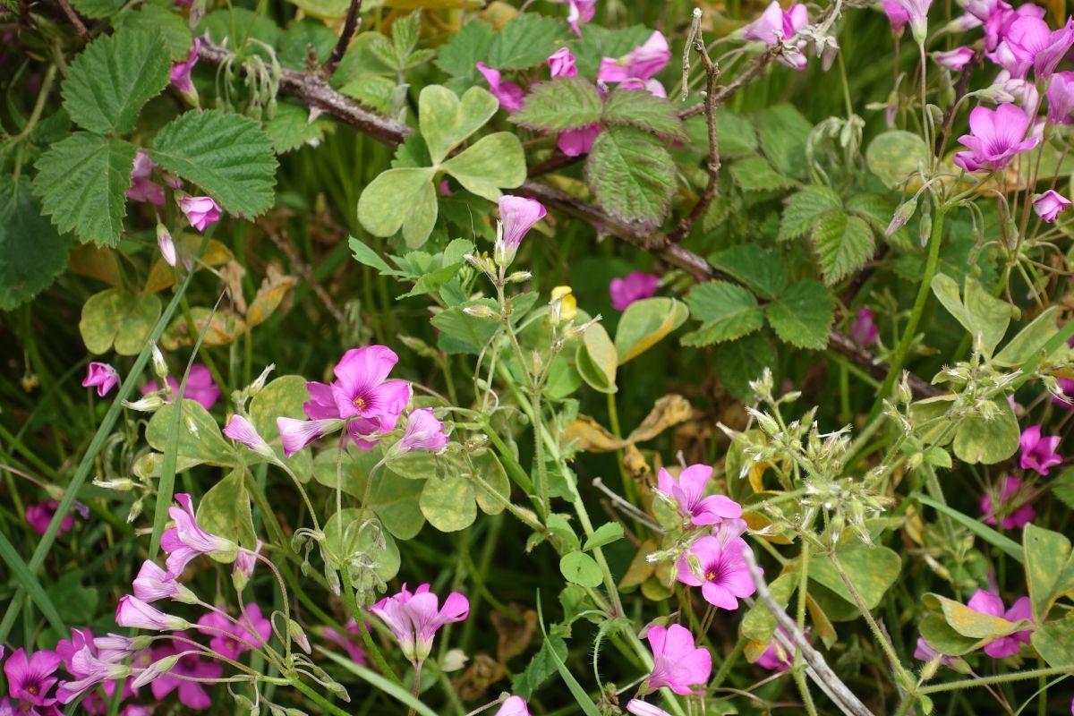 Flowering Shamrock