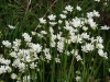 Greater Stitchwort or Addersmeat