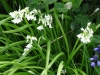 White Bluebell (albino)
