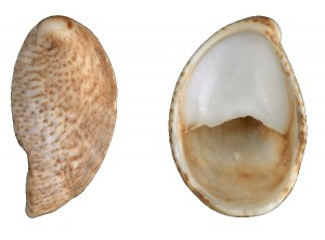 Common Slipper Shell