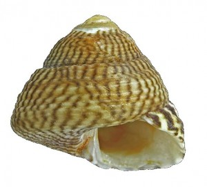 Grey Top Shell