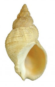 common whelk