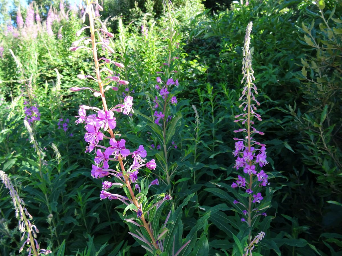 Rosebay Willowherb July 2016 28