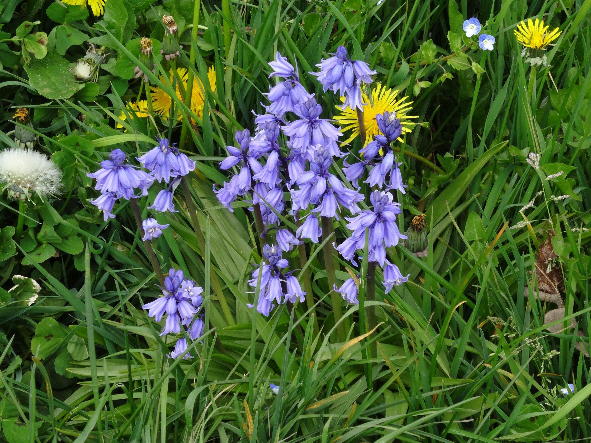 English Bluebell