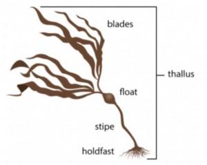 seaweed terms